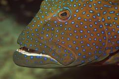 Red sea coralgrouper. (plectropomus pessuliferus)taken in the red sea royalty free stock photos
