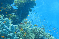 Red Sea corals house for Fishes Royalty Free Stock Images