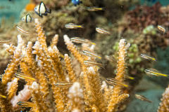 Red Sea corals house for Fishes Royalty Free Stock Photography
