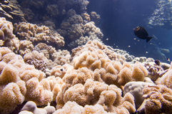 Red Sea corals house for Fishes Royalty Free Stock Image