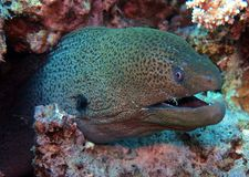 Red Sea Corals stock image
