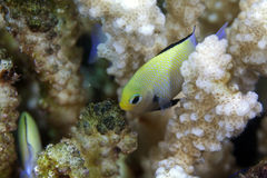 Red Sea dascyllus (dascyllus marginatus). Royalty Free Stock Photography