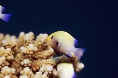 Red Sea Dascyllus (dascyllus Marginatus) Stock Image
