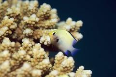 Red sea dascyllus (dascyllus marginatus) Stock Photos