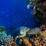 Red sea diving big sea turtle sitting between corals. Red sea diving big sea turtle sitting on colorful coral reef stock photography