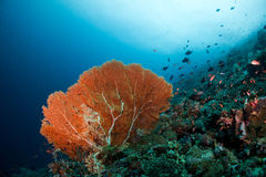 Red sea fan. In blue water Stock Photo