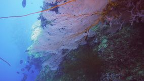 Red sea fan grows on a wall. A red sea fan grows on a wall in Papua New Guinea stock video footage