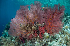 Red Sea Fan on Reef Drop Off. A large sea fan gleans plankton from currents running along a reef in Palau. Palau is a Micronesian island group known for its high Royalty Free Stock Photography