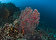 Red Sea Fan on Reef Stock Photos