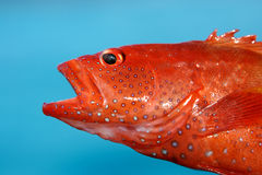 Red sea fish Stock Photos