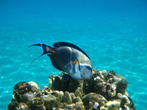 Red Sea Fish. A blue fish swimming around coral in the Red Sea, Egypt Stock Images