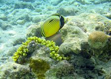 Red sea fish butterfly. Marine life, sharm el sheik, egypt Royalty Free Stock Image