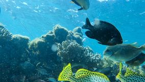 Red sea fish. At deep blue water in a colorful coral reef , Red sea, Egypt. Full HD underwater footage stock video footage