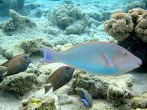 Red sea fish Stock Images