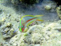Red sea fish Royalty Free Stock Photos