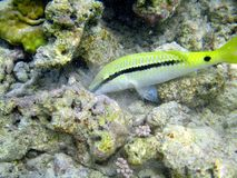 Red sea fish. Marine life, sharm el sheik, egypt Stock Images
