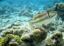 Red sea fish picasso Royalty Free Stock Photo