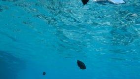 Red sea fish. Abudefduf vaigiensis at deep blue water, Red sea, Egypt. Full HD underwater footage stock video footage