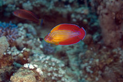 Red sea flasher wrasse (paracheilinus octotaenia) Royalty Free Stock Photos