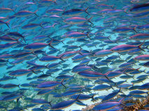 Red Sea Fusilier Stock Images