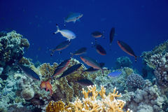 Red sea fusilier (caesio suevica) Royalty Free Stock Photo