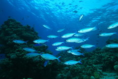 Red Sea Fusliers Stock Photos