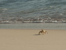 Red Sea ghost crab on the beach Stock Photo