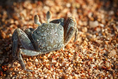 Red Sea ghost crab, Ocypode saratan. Sitting on the sand, the morning light, the Red Sea coast, near Sharm El Sheikh, Egypt royalty free stock photography