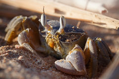 Red Sea ghost crab, Ocypode saratan. Sitting on the sand, the morning light, the Red Sea coast, near Sharm El Sheikh, Egypt stock photos