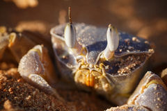 Red Sea ghost crab, Ocypode saratan Stock Photography