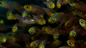 Red Sea Glassfishes Royalty Free Stock Photos