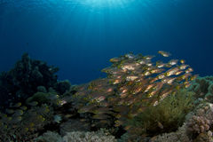 Red Sea Glassfishes in blue water Stock Photo