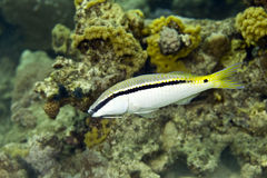 Red sea goatfish (parpeneus forsskali). Taken in Middle Garden Stock Image