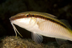 Red sea goatfish (parpeneus forsskali) Stock Image