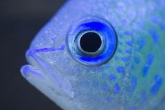 Red Sea Green Chromis. A macro of a red sea green chromis stock photos
