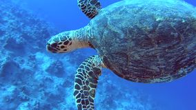 Red Sea hawksbill turtle swimming on tropical coral reef wall