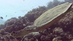 Red Sea hawksbill turtle swimming on tropical coral reef wall. Red Sea hawksbill turtle eretmochelys imbricata swimming underwater on coral reef wall in tropical stock footage