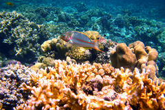 Red sea junker among coral Royalty Free Stock Photography