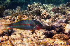 Red sea junker fish Royalty Free Stock Photography
