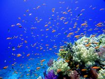 Underwater scene. Coral reef, fish groups Royalty Free Stock Image