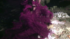 Red sea lily underwater in ocean of Philippines. stock video footage