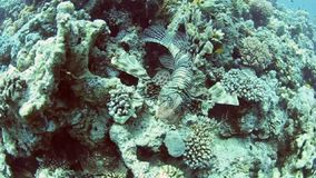 Red Sea lionfish on coral reef stock video