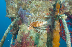 Red Sea lionfish on a shipwreck Stock Images