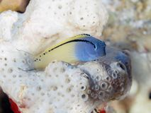 Red Sea mimic blenny Stock Photos