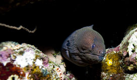 Red sea moray eel Royalty Free Stock Image