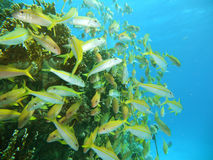 Red sea Mullet. Yellow red sea mullet in red sea Royalty Free Stock Photo