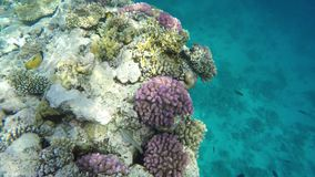 Red sea. Multicolored fish swim among coral reefs.  stock video footage