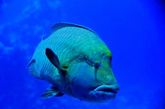 Red Sea Napoleon Fish close up portrait Stock Images