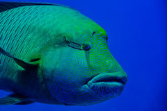 Red Sea Napoleon Fish close up portrait Royalty Free Stock Photos