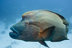Red Sea. Napoleon Fish Royalty Free Stock Photography